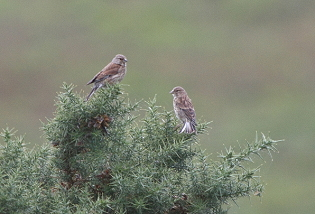 Linnets - female and juvenile