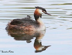 grebes photos