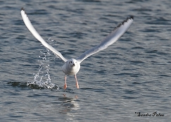 Bonaparte's gull flight