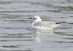 Bonaparte's gull bird