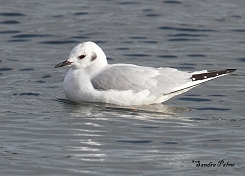Bonaparte's Gull photo