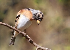 Brambling photos