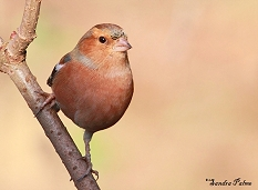 Chaffinch photos