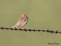 Corn Bunting photos