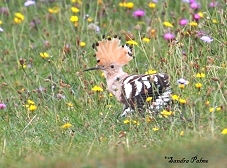hoopoes photos