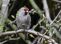 Mealy Redpoll photos