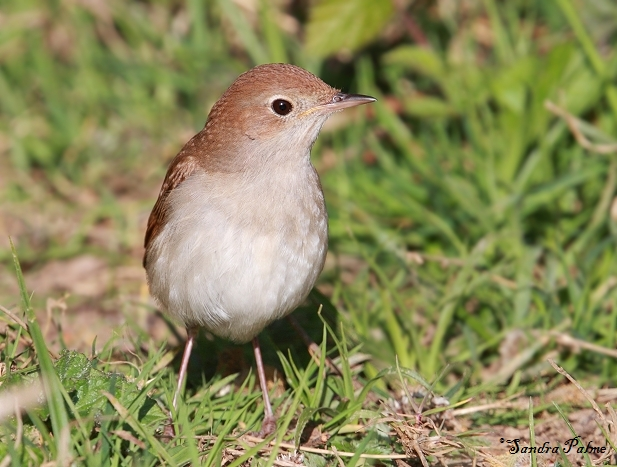 nightingale on ground