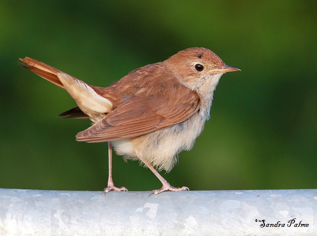 nightingale on fence