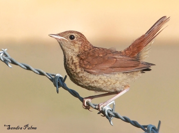 juvenile nightingale