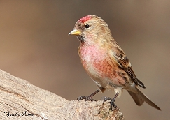 Lesser Redpoll photos