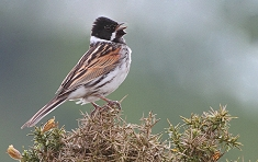 Reed Bunting photos