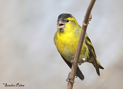 Siskin photos