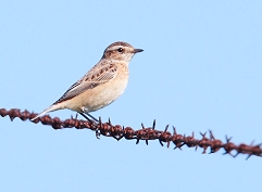 whinchat photos