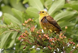 Yellowhammer photos