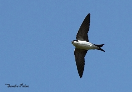 house martin photos