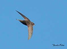 swifts photos