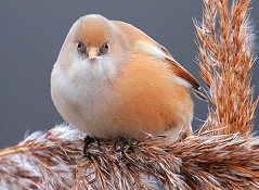 bearded reedlings photos