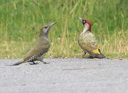 green woodpeckers photos