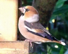 hawfinch photos