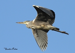 grey herons photos