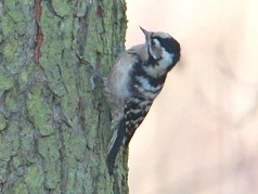 lesser spotted woodpecker photos