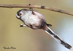 long-tailed tits photos