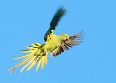 ring-necked parakeets photos