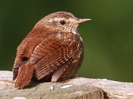 wren photos